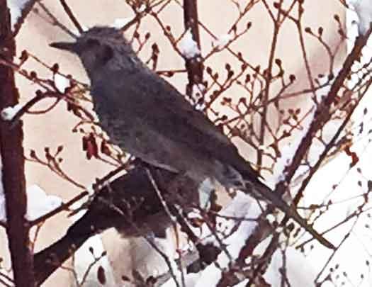 鳴き声で探そう! 日本の鳥百科 サントリーの愛 …